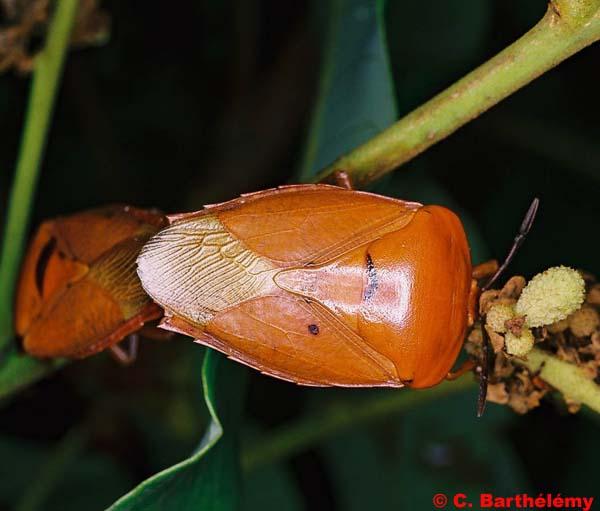 Насекомые №29 Тессератома Папиллоза (Tesseratoma papillosa) фото, обсуждение