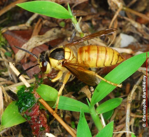 http://insectahk.com/hymenoptera/Vespa%20bicolor-b.jpg